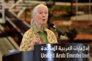 Dr Jane Goodall speaking at UAE University