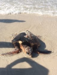 Loggerhead turtle in need of rescue
